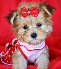 Yorkie and Teacup Yorkie puppies for sale