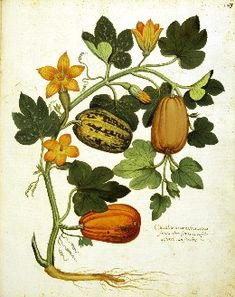 Aldrovandi zucchini.jpg (260×328)