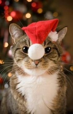 Cat in Santa hat. / You can Add Santa to Your photos. Try it out for Free at Capturethemagic.com