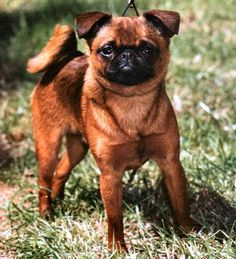 The characteristics of the PETIT BRABANCON are the same as those of the Belgian Griffon, except for the coat.