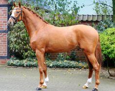 Oldenburg warmblood stallion, Grimaldi..