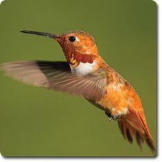 Rufous #Hummingbird – Bird o' the Day – Backyard Wild #Bird Directory –