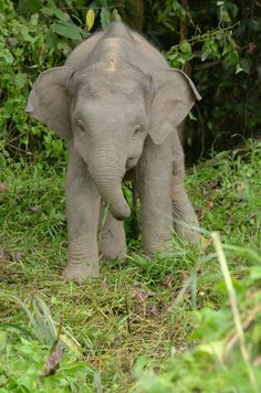The very handsome Borneo pygmy elephant is just a little disproportionate, which is why his tail drags across the floor behind him.