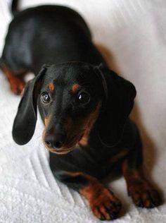 Discover The Bold Dachshund Dogs Personality Dachshund Funny, Dachshund Breed, Dachshund Quotes, Long Haired Dachshund, Dachshund Love, Daschund, Black Dachshund, Dapple Dachshund, Shih Tzu