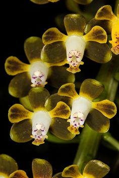 Orchid: Prosthechea sp. - Flickr - Photo Sharing!