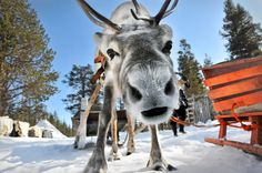 Reindeer tours - There are more semi-wild reindeer living in Lapland than people, which is why you should meet at least one of these animals during your visit!