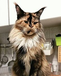 (Video) How to Prevent your Cat from Spraying ------------------------------------------------------------------- Maine Coon Kittens, Cats And Kittens, Tabby Cats, Beautiful Cats, Animals Beautiful, Cat Toilet Training, Cat With Blue Eyes, Curious Cat, Bad Cats