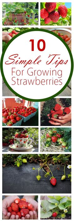 10 Simple Tips for Growing Strawberries Growing strawberries, fruit gardening, strawberries, popular Veg Garden, Fruit Garden, Edible Garden, Lawn And Garden, Garden Plants, Landscaping Plants, Vegetable Gardening, Landscaping Ideas, Strawberry Garden