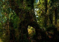 Sendero del Bosque Encantado, Parque Nacional Queulat Chile, Landscapes, Country Roads, Plants, Haunted Forest, National Parks, Scenery, Paisajes, Chili