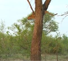 Laura Brown @lauragaile  Nov 2 2015 The Queen Karula up a tree after a chase from the Tsalala pride on #SafariLive