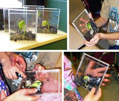 Planting beans in cd cases!  Great idea!