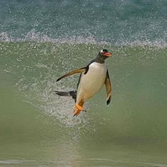 Gentoo penguin (Pygoscelis papua papua) surfing on a wave. These penguins are masterful surfers. We filmed them in high speed as they came ashore to feed their young. Types Of Penguins, Cute Penguins, Eagles, Penguin Videos, Planet Pictures, Gentoo Penguin, David Attenborough, Funny Birds, Wildlife Photography
