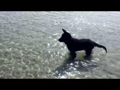 Cana Old german shepherd first time in the water - YouTube