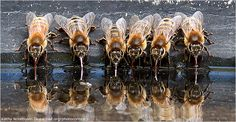 National Wildlife Photo Contest-Grand-prize <><> Kathy Noteboom >>  Grand Prize >>   European honeybees find cool relief on a summer day, using their strawlike tongues, or proboscises, to sip water from a backyard birdbath.