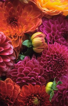 Beautiful colors of Dahlias.
