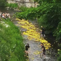 Хиляди гумени патета в реката #rubberduckrace #stockbridgeduckrace #stockbridgeduckrace2015 #stockbridge #edinburgh #stockbridgeedinburgh #scotland