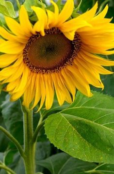 Heirloom Mammoth Sunflower Flower Seed Garden Organic Non Gmo Grey Striped Seed Sunflower Flower, My Flower, Sunflower Fields, Mammoth Sunflower, Sunflower Pictures, Seed Packaging, Sunflower Wallpaper, Tomato Cages, Flower Seeds
