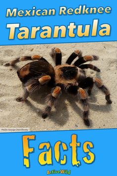 Tarantula spider facts: despite being one of the most common pet tarantulas, the Mexican redknee tarantula is 'Near Threatened' in the wild. Find out more about this incredible arachnid at Active Wild! Pet Tarantula, Animal Facts For Kids, Fun Facts About Animals, Large Spiders, Weird Facts, Mexican, The Incredibles, Pets