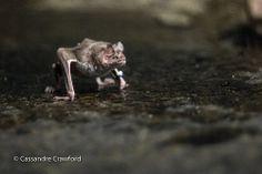 Vampire Bat Cincinnati Zoo, Vampire Bat, Pet Birds, Cute Animals, Image, Pretty Animals, Cutest Animals, Cute Funny Animals, Vampires