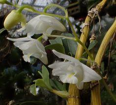 Dendrobium kingianum (alba) Syn.: Callista kingiana; Dendrocoryne kingianum; Tropilis kingiana; Thelychiton kingianus et al. March 19, 2015