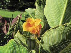 What a joy to watch Tropicanna Gold canna grow in my garden! I love its giant showy leaves. Even my New Hampshire garden benefits from a tropical touch.