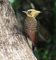 Foto pica-pau-louro (Celeus lugubris) por Lindolfo Souto | Wiki Aves - A Enciclopédia das Aves do Brasil