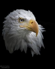 Eagle by Jacki Soikis on 500px
