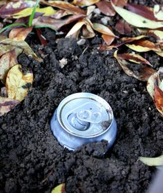 How To Get Rid Of Slugs and Earwigs With Beer. The partially full, buried beer cans attract slugs and earwigs and they fall in and drown. Hopefully I can save my poor zucchini plant! Remember, if you're using beer, dig before you start drinking! Garden Bugs, Garden Pests, Lawn And Garden, Slugs In Garden, Garden Insects, Gardening Tips, Container Gardening, Organic Gardening, Getting Rid Of Earwigs