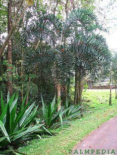 Normanbya normanbyi (Queensland Black Palm) - native to Queensland Australia - grows to 18m in habitat