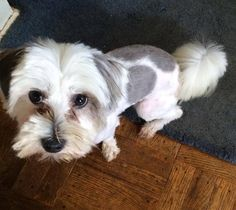 ADOPTED! Gordan is a one year old neutered male Shih Tzu/Maltese Mix that was rescued from a local high kill shelter.   This little guy has pizazz! He is super friendly, sweet and loves to play with other dogs. He's got a lot of puppy energy and will keep you well entertained.