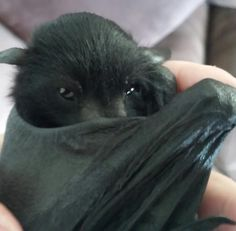 Baby Flying Fox practicing his best 'Dracula' impression...