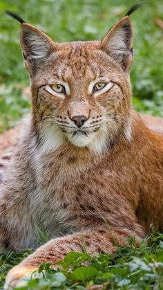 lynx, grass, big cat, carnivore, lie More Big Cats, Cats And Kittens, Cute Cats, Beautiful Cats, Animals Beautiful, Animals And Pets, Cute Animals, Wild Animals, Baby Animals