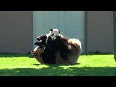 panda cuteness overload.