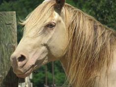 Missouri Fox Trotter breeding stallion, JJ. is gorgeous!  Find him at www.forthehorse.org