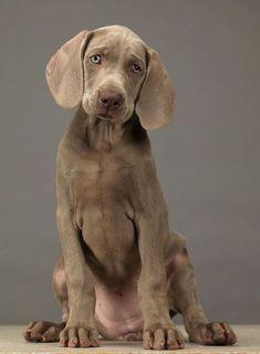.Weimaraner es un hermoso perro y una raza muy impetuosa y con buen instinto