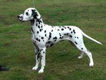 Perfil de un perro dálmata