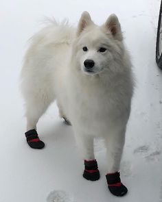 Even snow bois need snow booties sometimes      #samoyed #puppy #samoyedsofinstagram #dog #samoyed_feature #snow #winter #cute