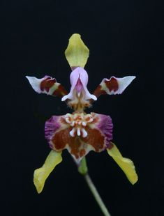 Oncidium ionopterum
