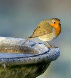 Google Image Result for http://www.buzzle.com/images/photography/bird-photography/robin-bird-bath.jpg
