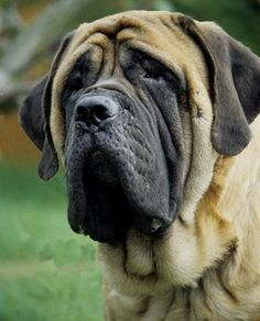 "English Mastiff -  This is not my Brutus, but boy am I missing him tonight. May you RIP my ""little"" buddy. I miss you dearly. You captured my heart and soul in a way I didn't know was possible. Brutus Fields 12/7/2001 - 12/6/2012"