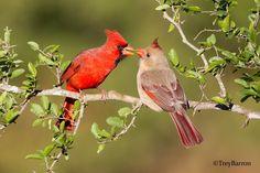 A Northern Cardinal couple - Pretty Birds, Love Birds, Beautiful Birds, Small Birds, Red Bird Tattoos, Tattoo Bird, Cardinal Tattoos, Cardinal Birds, Backyard Birds
