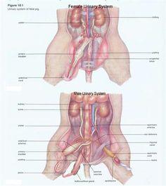 Fetal Pig Thoracic Cavity Diagram | 38 Best Pig Disection Images On Pinterest Ap Biology Life Science