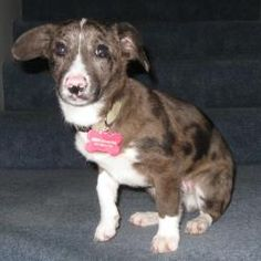 *Wilbur is an adoptable Basset Hound Dog in Mundelein, IL. Wilbur is a 4 month old Basset/Terrier mix with the cutest little pink nose.  He's your typical 4 month old puppy.  He might have baggage, but...