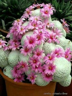 Mammillaria herrerae Pianta
