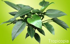 Large, green, heart shaped Philodendron Congo