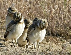 baby burrowing owls   We just returned from Cambria, CA and spotted TWO burrowing owls in the Fiscalini Ranch.