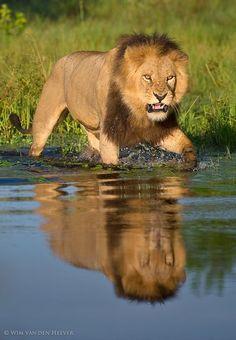 Lion crossing the swampy Okavango Delta, Botswana by Wim Van den Heever /ODP Safaris