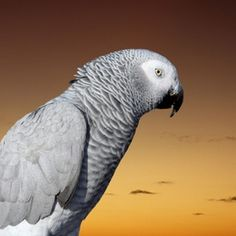 African Grey parrots are social birds that enjoy human contact.