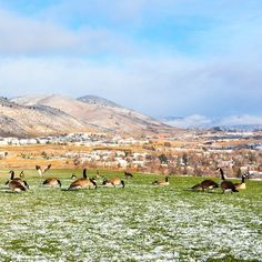 The students may be gone, but the geese are still here. Have a safe Thanksgiving Break! #minessnow