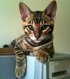 "Toyger kitten. The toyger is a breed of domestic cat, the result of breeding domestic shorthaired tabbies (beginning in the 1980s) to make them resemble a ""toy tiger"", as its striped coat is reminiscent of the tiger's."